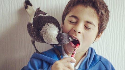 Cet oiseau est le 6e membre de cette famille australienne   !