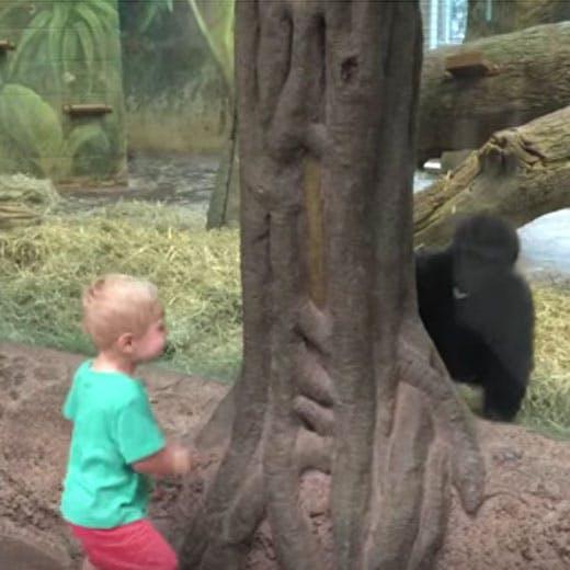 Vidéo : ce petit garçon joue à cache-cache avec un gorille   dans un zoo