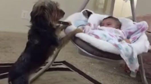 Vidéo : ce chien berce doucement un bébé pour le   calmer
