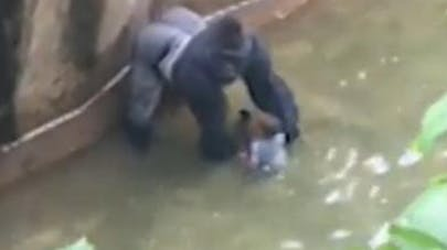 Gorille abattu pour sauver un enfant : polémique sur les   réseaux sociaux