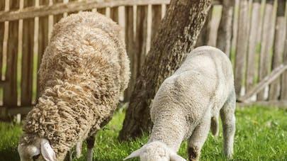 Deux moutons à la crèche!