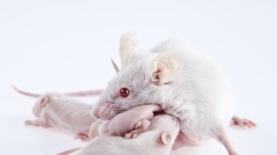 Des souris obtenues sans ovocytes