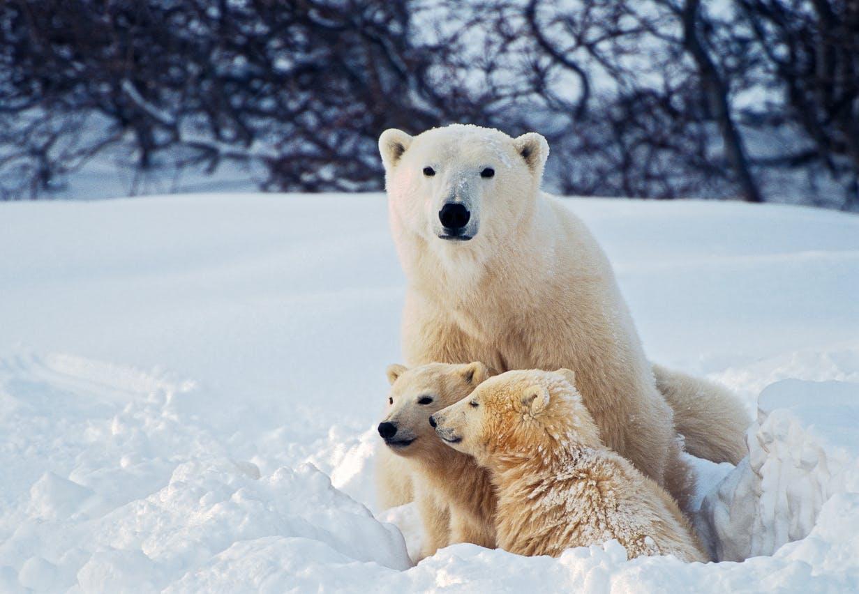 des ours blancs dans la neige