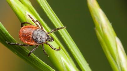 Tiques: une application pour prévenir la maladie de Lyme