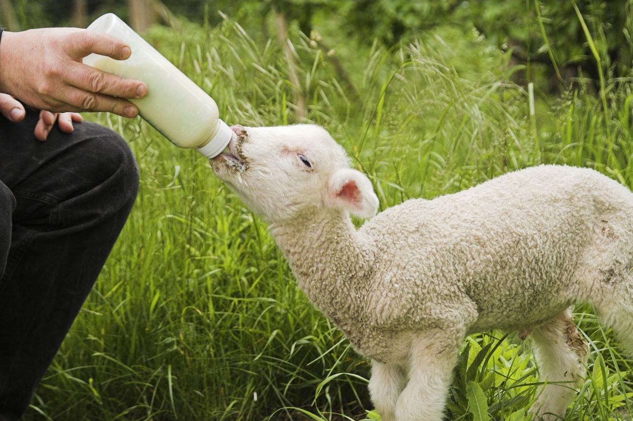 Des scientifiques viennent de créer des embryons hybrides de moutons-humains — Chimères