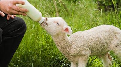 Don d'organes : un embryon mi-humain mi-mouton créé en laboratoire