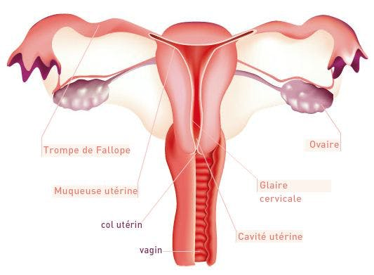 appareil génital féminin