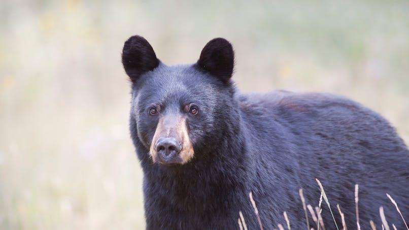 Canada : un ours monte dans une voiture à l'arrêt avec un enfant à bord