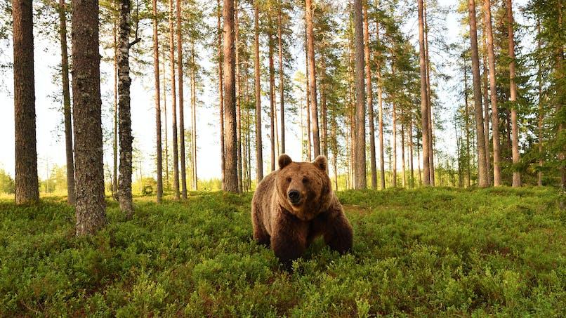 Aux Etats-Unis : un enfant de 3 ans perdu en forêt dit avoir survécu grâce à un ours !