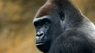 Exposition Gorilles