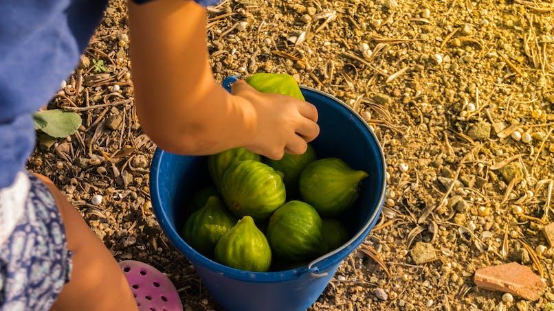 Enfants brûlés par des feuilles de figuier : explications et précautions