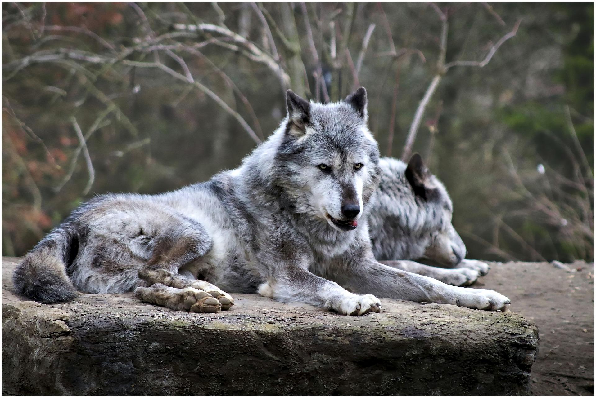 Deux loups du zoo d'Hanovre