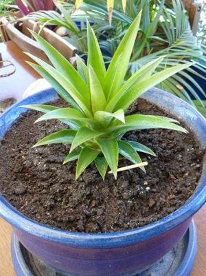 Faire pousser un ananas