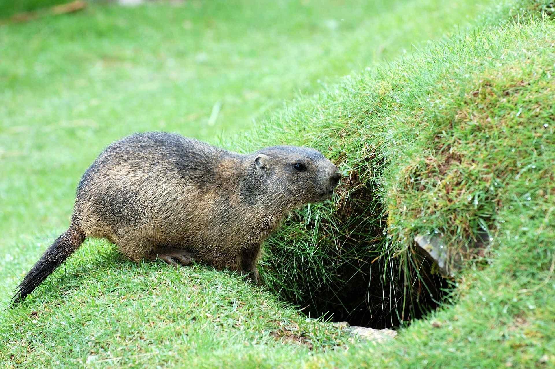 La marmotte entre dans son terrier