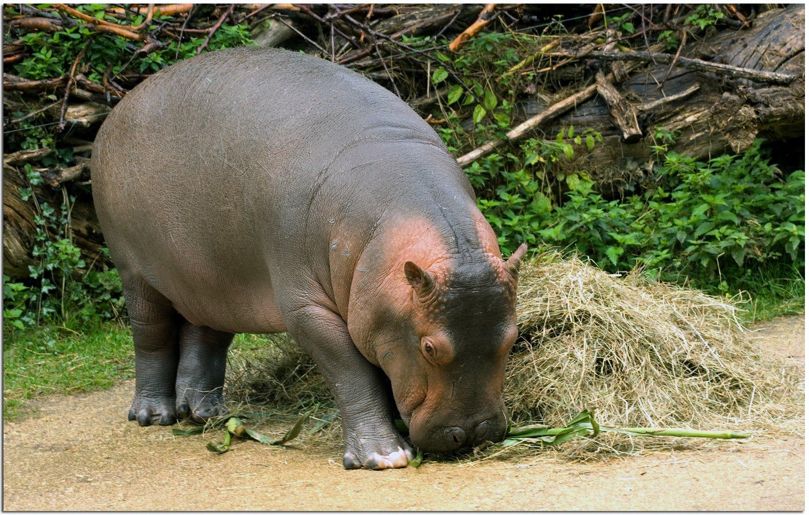 Coloriage Bebe Hippopotame.Le Bebe Hippopotame Momes Net