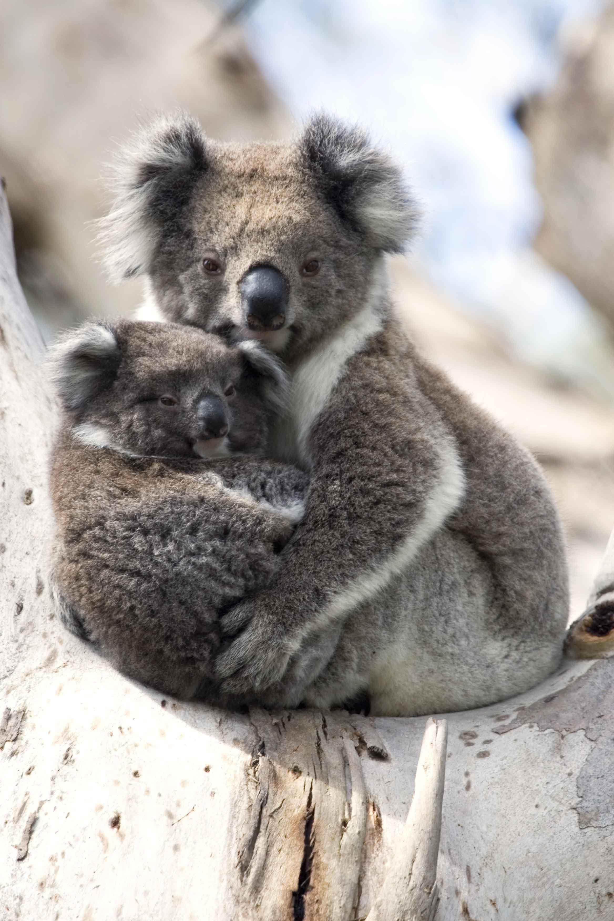 Chambre b b koala - Stickers koala chambre bebe ...
