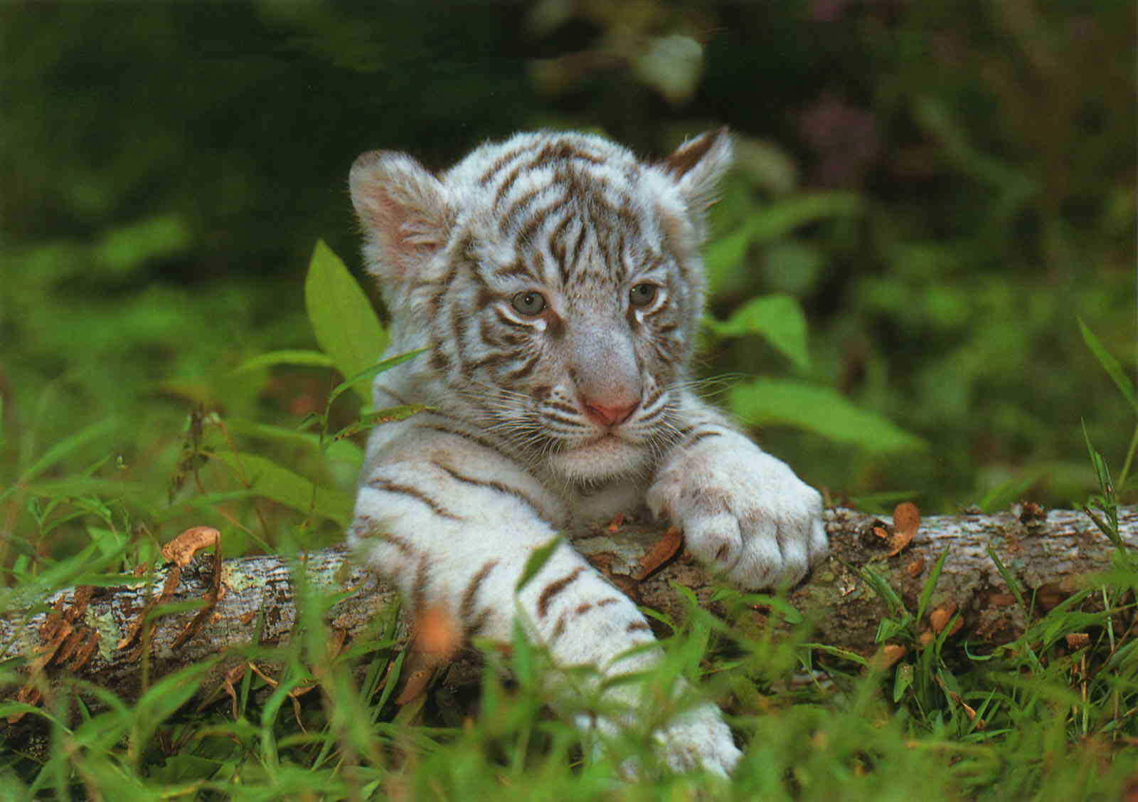 Le b b tigre - Photo de tigre a imprimer ...