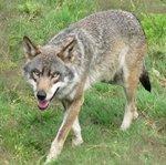 loups de chabrieres