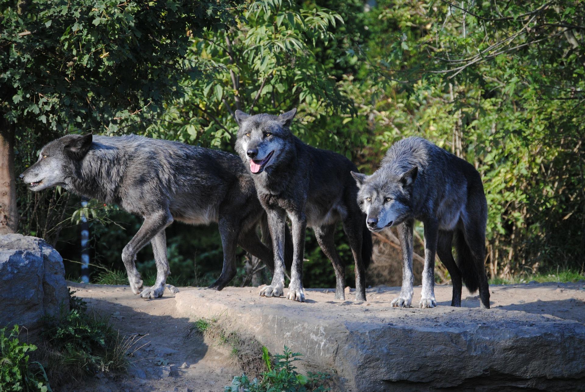 Meutes de loup dans son habitat naturel