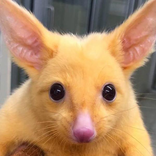 pikachu pokemon opossum australie