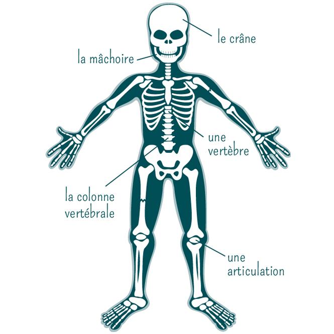 Assez Le squelette : base du corps humain - Momes.net QW31