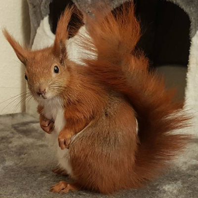 Tintin le petit écureuil roux roi d'Instagram