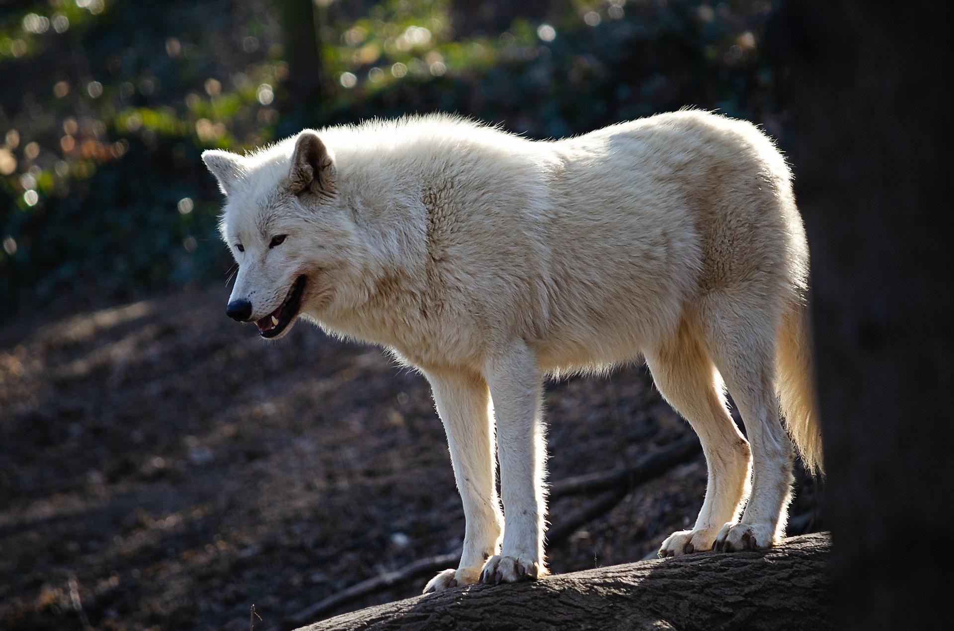 Un loup arctique d'Amérique du Nord