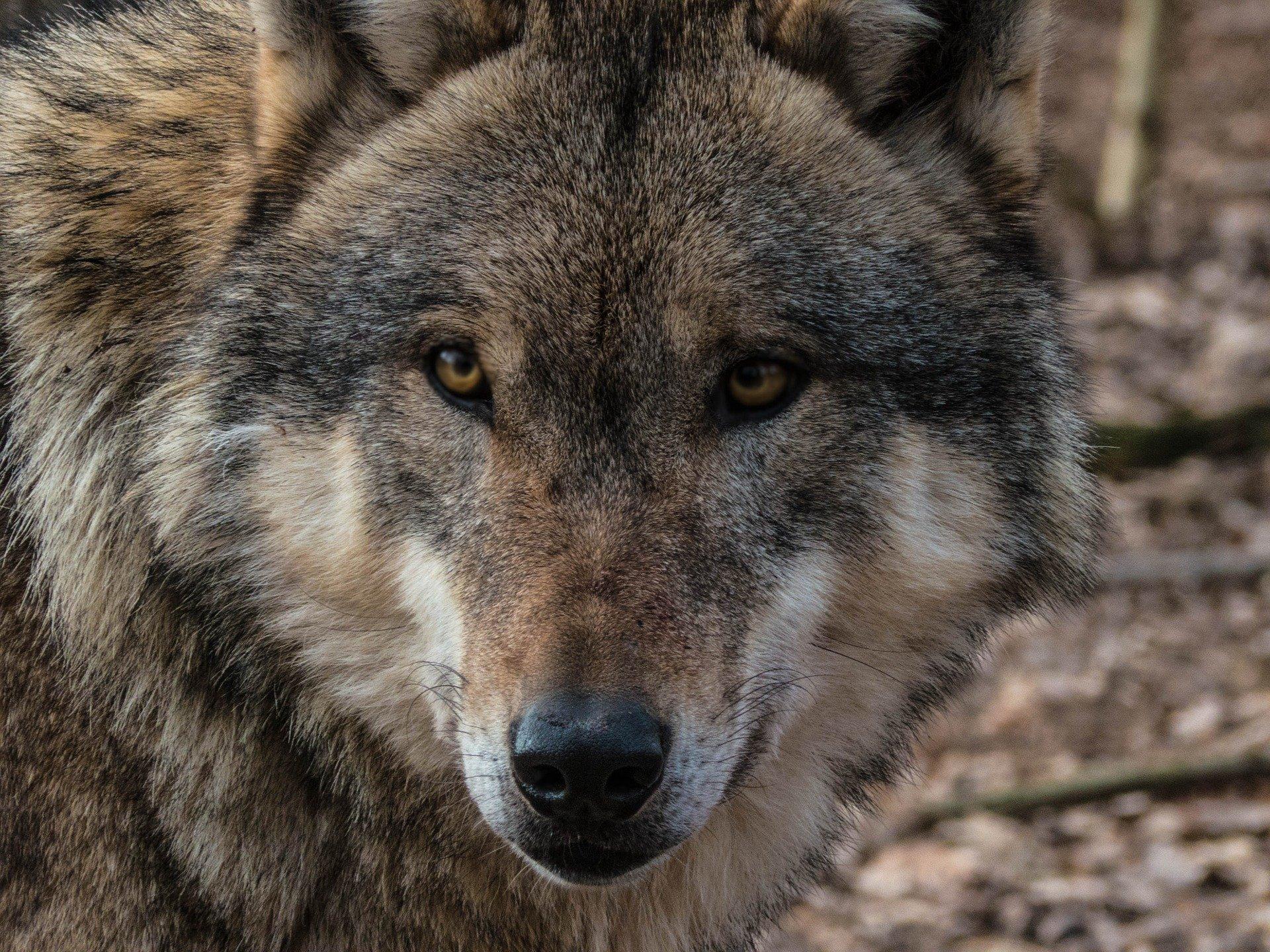 Une tête de loup au museau pointu