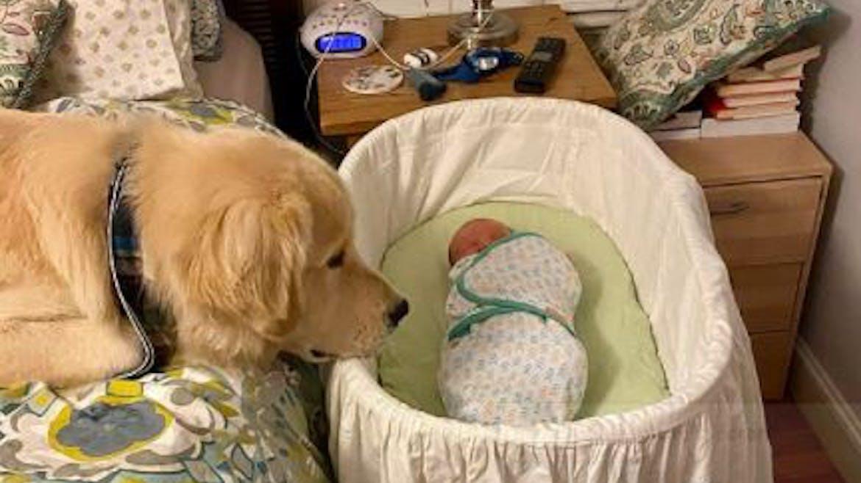 L'adorable vidéo d'un golden retriever qui prend soin d'un nouveau-né