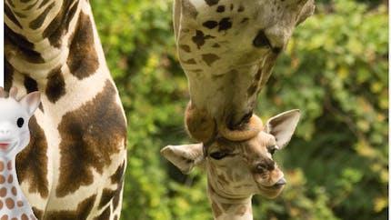 Anniversaire : pour ses 60 ans, Sophie la girafe se bat pour la sauvegarde des girafes